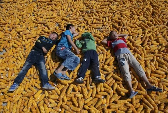 Кения впервые за шесть лет импортирует украинскую кукурузу фото, иллюстрация