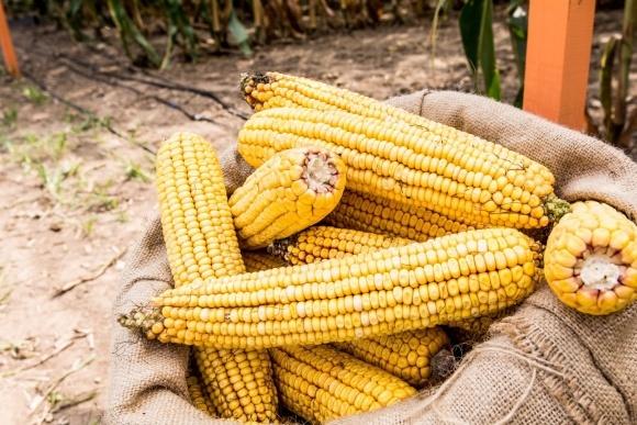 Чтобы не потерять китайский рынок кукурузы - нужно держать цену, - эксперт фото, иллюстрация