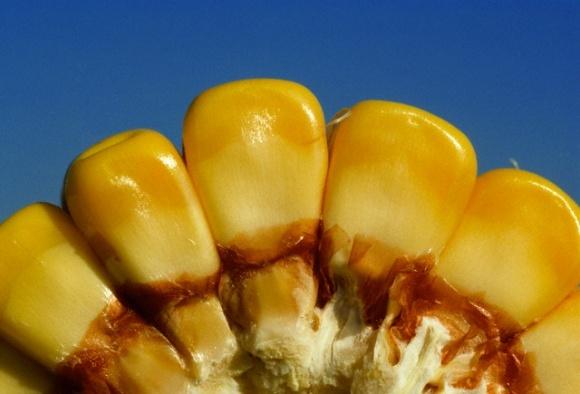 Производителей кукурузы предупредили о неустойчивости культуры к насекомым фото, иллюстрация