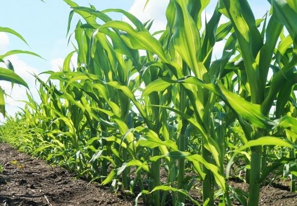 На Черниговщине засеяли кукурузой  памятку археологии фото, иллюстрация