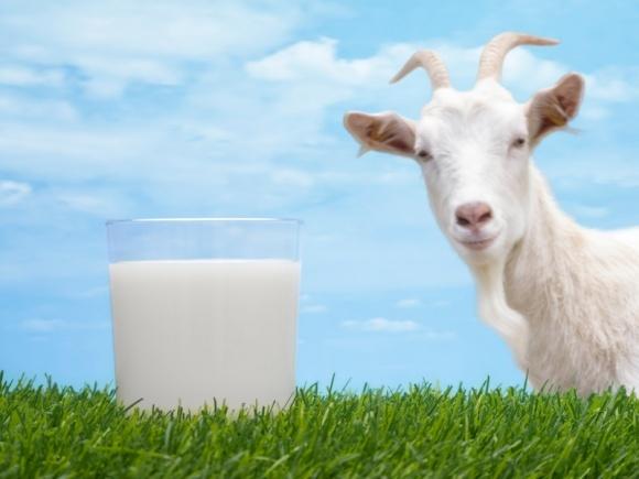 Корейцы заинтересовались украинским козьим молоком фото, иллюстрация