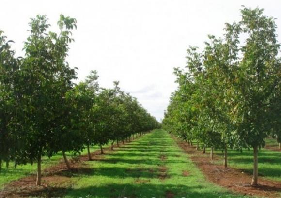 На Ровенщине высадят ореховый сад  на 50 га фото, иллюстрация