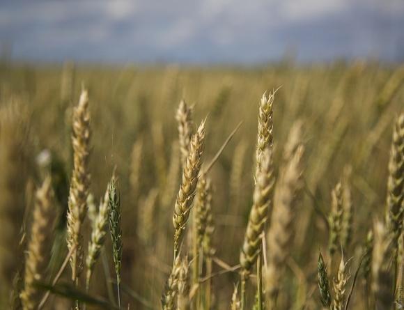 Через посуху може загинути врожай озимих в Криму фото, ілюстрація