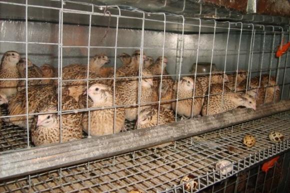 Перепелиная ферма: окупаемость - 2-3 месяца, ежегодный доход - € 50-60 фото, иллюстрация