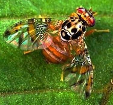 В Аргентині хочуть побороти плодову муху екологічними технологіями фото, ілюстрація