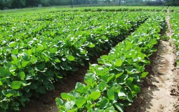 Площі посівів під сою зростуть попри скасування експортного ПДВ фото, ілюстрація