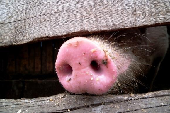 В Одесской области из-за африканской чумы в 2016-м уничтожено 13 тыс. свиней фото, иллюстрация
