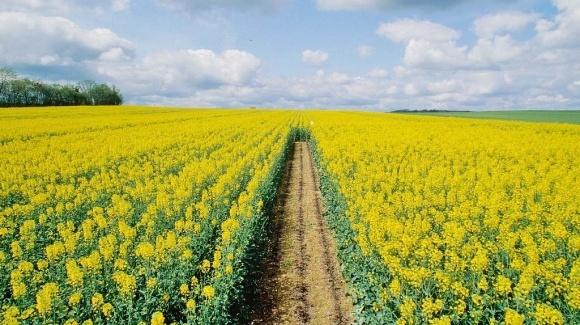 Агролайфхак: як збільшити продуктивність ріпаку до 70 ц/га фото, ілюстрація