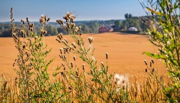 Агролайфхак: збирання врожаю на забур'яненому полі фото, ілюстрація