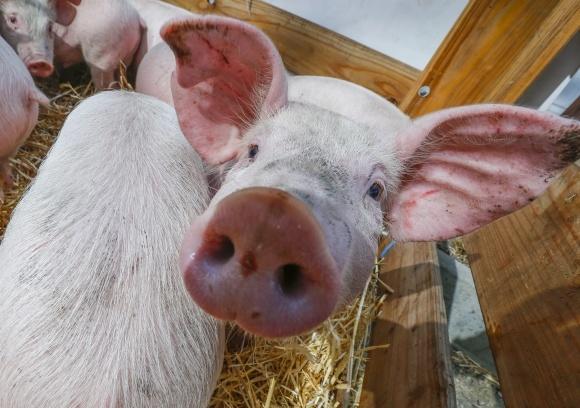 АЧС закрывает для украинской свинины экспортные рынки, - IFU фото, иллюстрация