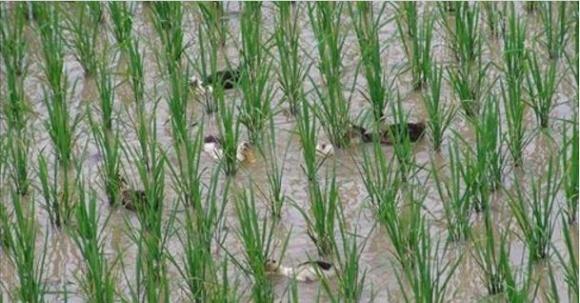 Умный бизнес. Утки помогут вырастить рис фото, иллюстрация