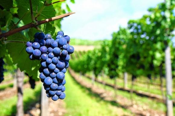 Виробництво винограду у країнах ЄС скоротиться до 1,7 млн т фото, ілюстрація