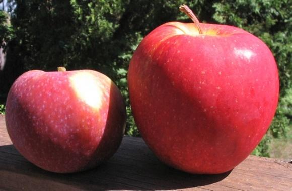 Американці обрали найпопулярніший сорт яблук   фото, ілюстрація