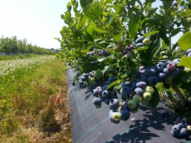 Черника выращивание в промышленных 505