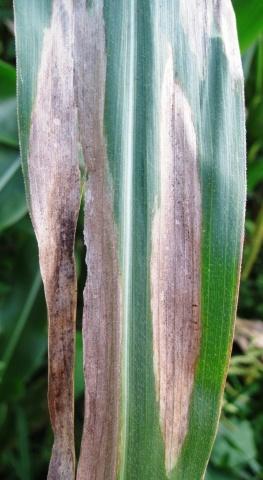 Динамика изменения симптомов бурой пятнистости на листьях кукурузы