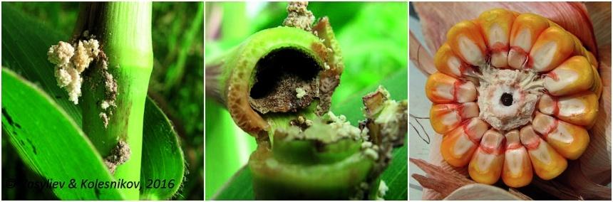 Повреждение кукурузы стеблевой бабочкой