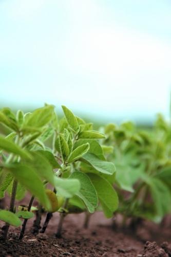 технология выращивания сои в украине самостоятельно обнаружили